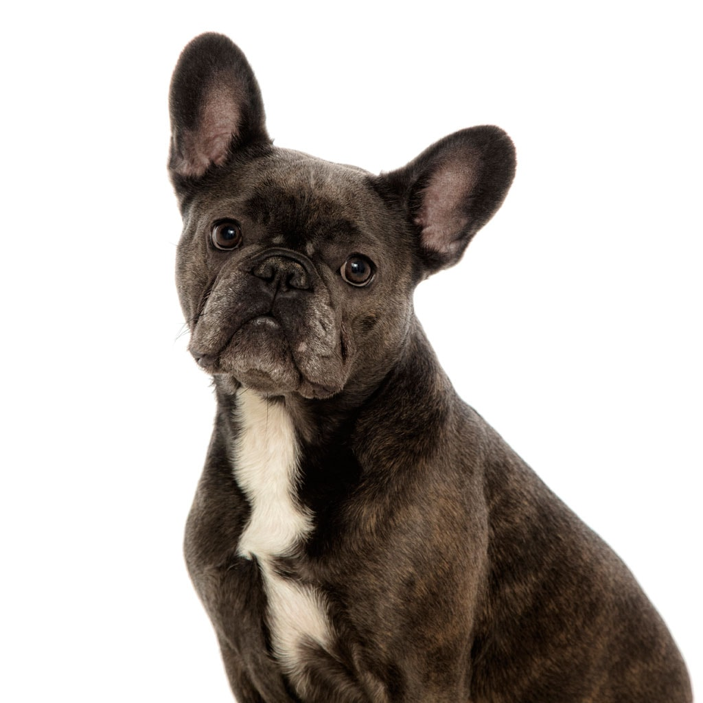 French Bulldog Photography Leicester